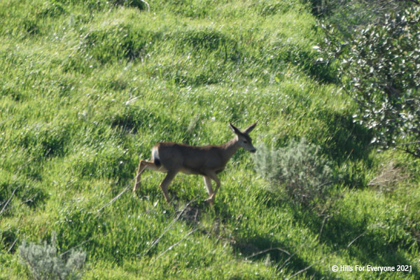 A brown deer with large ears walks down a green hillside with a bushes and plants nearby.