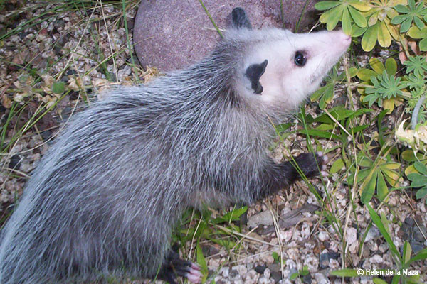 A grey and white opossum rests over some rocks and vegetation with its black feet contrasting the ground.