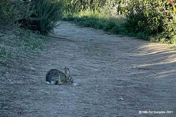 A rabbit with large ears sits in the middle of a dirt trail with vegetation growing on both sides.