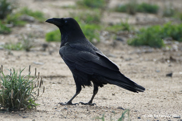 A common raven entirely in black feathers walks on the dirt ground with grass bunches nearby.