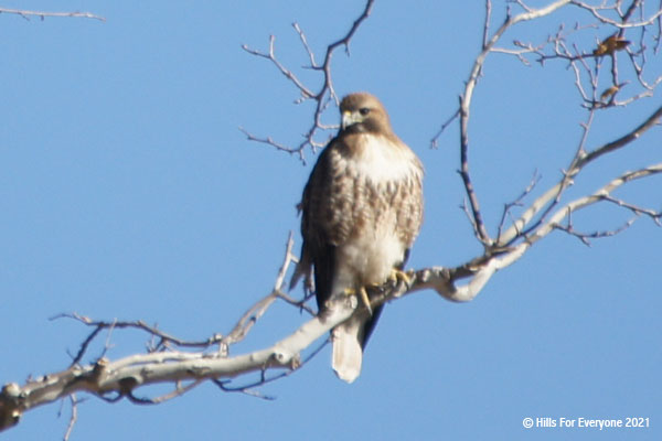 A red shouldered hawk surveys its surroundings while perched on a sycamore tree branch with a blue sky behind it.