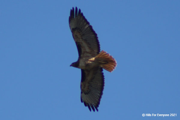 A red tailed hawk with its wing span wide open flies overhead against a blue sky.