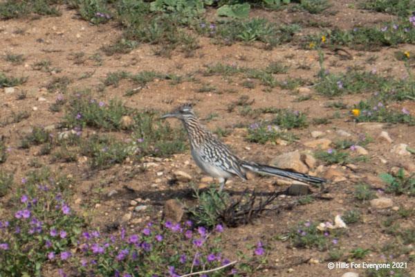 A roadrunner is well camouflaged against the dirt with its grey, white, and brown feathers with purple flowers and green plants nearby.