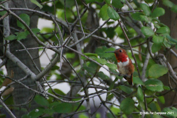An orange throated hummingbird (Rufous) sits on a branch of a growing oak tree.