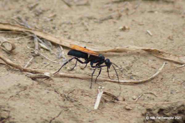 A black bug with orange wings searches the dirt with a variety of dried vegetation nearby.