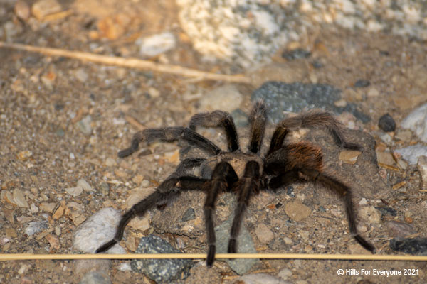 A large spider walks on gravel with various sized pebbles and a tan piece of grass in the foreground.