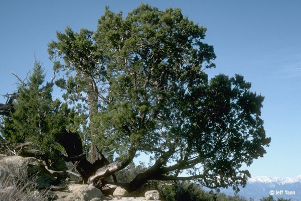 A tree with multiple branches coming off the trunk and bushy pine like leaves off the branches against a blue sky and mountains in the distance.