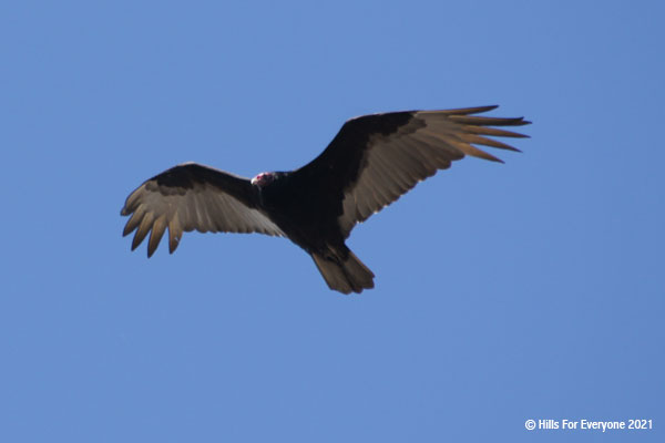 A black turkey vulture with a red featherless head flies overhead against a blue sky.