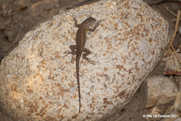 A lizard with black, beige, and tan colors is splayed out on a tan and beige rock looks back at the camera.