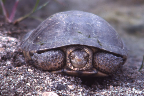 A dark grey turtle sits on a pebbly surface with its head slightly tucked in with a blurry background of neutral colors.