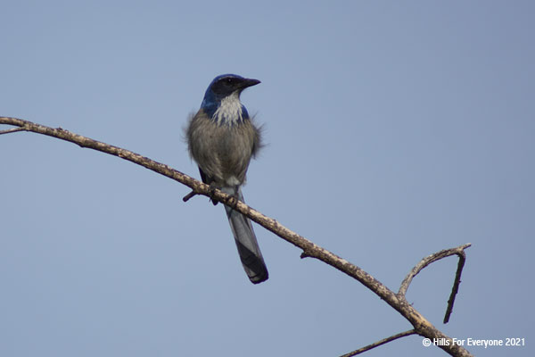 A western scrub jay rests atop a branch with its feathers blowing in the wind and a grey-blue sky in the background.