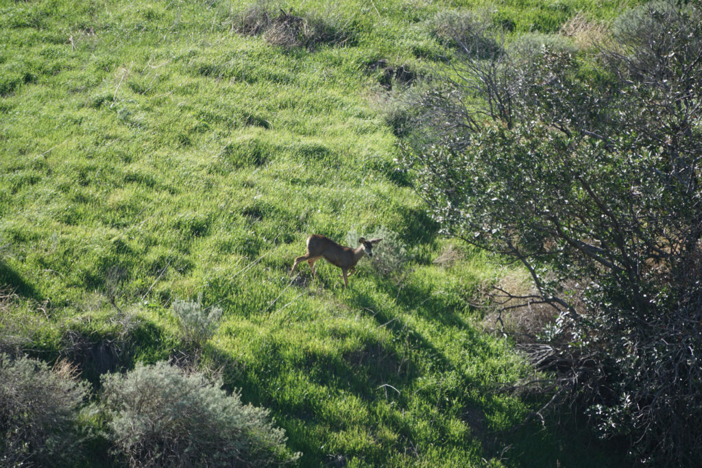 A mule deer walks across a hillside toward cover on the First National Investment Properties land.